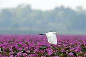 Intermediate Egret (Mesophoyx intermedia) flying over pink water lilies, Thailand