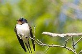 Barn swallow (Hirundo rustica) on a branch, France