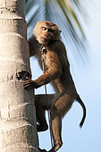 Harvest of coconuts with Northern pig-tailed Macaque (Macaca leolina) - Koh Samui - Thailand