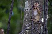 Northern pig-tailed Macaque (Macaca leolina) young eating a banana, Thailand
