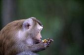 Northern pig-tailed Macaque (Macaca leolina) eating a banana, Thailand
