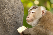 Northern pig-tailed Macaque (Macaca leolina) eating coconut, Thailand
