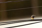 Olive-backed Sunbird (Cinnyris jugularis) on a wire, Thailand