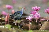 Purple Swamphen (Porphyrio porphyrio poliocephalus) in pink water lilies, Tale Noi - Thailand