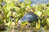 Purple Swamphen (Porphyrio porphyrio poliocephalus) eating in water hyacinth, Tale Noi, Thailand