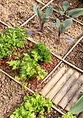 Square vegetable garden in town with parsley, salad and cabbage