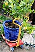 Lemon tree in pot on cart for moving