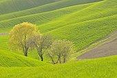Three deciduous trees, Crete Senesi area, Tuscany, Italy, Europe