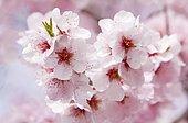 Blossoming Almond (Prunus dulcis) tree branch, Southern Wine Route, Southern Palatinate, Pfalz, Rhineland-Palatinate, Germany, Europe