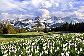 Flowering crocus meadow with storm clouds above the Bernese Alps, Nünenenflue, Gantrisch, Ochsen, Gurnigel pass, Canton of Bern, Switzerland, Europe