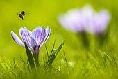 Crocus (Crocus sp.) with an approaching bee (Apis) in flight, Bavaria, Germany, Europe