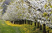 Blossoming cherry trees, Thuringia, Germany, Europe