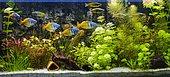 Aquarium avec des Poissons Arc-en-ciel de Boeseman (Melanotaenia boesemani)