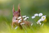 Eurasian red squirrel (Sciurus vulgaris) nibbling nut, springtime, daisies, Germany, Europe