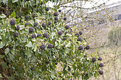 Ivy climbing (Hedera helix) in fruit in a garden, winter, Moselle, France