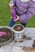 Plantation step by step of Amaryllis by a little girl