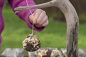 """Girl hanging a ball of fat, """"homemade"""" for garden birds, winter, Pas de Calais, France"""