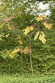 Japanese Angelica tree (Aralia elata), autumn, Somme, France