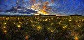 Paepalanthus Wildflower at sunrise. Brazil