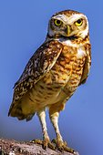 Burrowing owl (Athene cunicularia), Cerrado Biome, Brazil