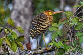 Rufescent Tiger-Heron (Tigrisoma lineatum), Anhumas Abyss. Brazil