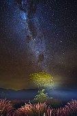 Galactic tree, Cerrado Biome Brazil.