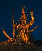 Ancient pine over 3500 years at night, Ancient tree california. USA