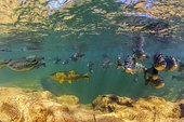 Foroso river bonito MS brazil. School of piraputangas and the predator golden fish