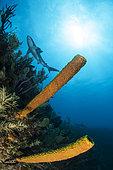 Yellow Tube Sponge (Aplysina fistularis) and Caribbean reef sharks (Carcharhinus perezi), Jardines de la Reina National Park, Cuba