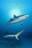Caribbean reef sharks (Carcharhinus perezi), Jardines de la Reina National Park, Cuba