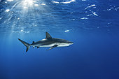 Caribbean reef shark (Carcharhinus perezi), Jardines de la Reina National Park, Cuba