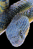 Portrait of Bush viper (Atheris squamigera) from Congo on black background