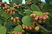 Chumbera, Tuna (Opuntia ficus-indica), is native to America and has been introduced intentionally being abundant throughout the archipelago. Island of El Hierro. Canary Islands.