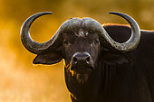 African Buffalo (Syncerus Caffer) portrait, Kruger national park, South Africa