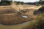 African Buffalo (Syncerus Caffer) herd into dry riverbed, South Africa, Kruger national park