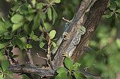 Flap-necked chameleon (Chamaeleo Dilepis ) in bush, South Africa, Mapungubwe national ParK