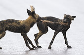 African Wild Dog sharing a prey (Lycaon pictus), South Africa, Kruger national park