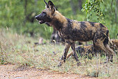 African Wild Dog (Lycaon pictus) in the rain, South Africa, Kruger national park