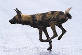 African Wild Dog (Lycaon pictus) running , South Africa, Kruger national park