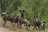African Wild Dog (Lycaon pictus) with prey in the mouth, South Africa, Kruger national park