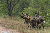 African Wild Dog (Lycaon pictus) pack in the rain, South Africa, Kruger national park