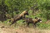 African Wild Dog (Lycaon pictus) stealing prey , South Africa, Kruger national park