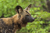African Wild Dog (Lycaon pictus) portrait, South Africa, Kruger national park