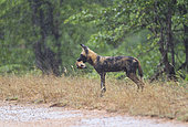 African Wild Dog (Lycaon pictus) in the rain with prey in the mouth, South Africa, Kruger national park