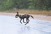 African Wild Dog (Lycaon pictus) running in the rain with prey in the mouth, South Africa, Kruger national park