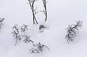 Mountain Hare (Lepus timidus) sleeping at covert in white winter coat in the Alps, Valais, Switzerland.