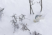 Mountain Hare (Lepus timidus) stretching at covert in white winter coat in the Alps, Valais, Switzerland.