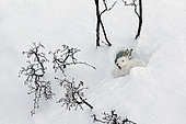 Mountain Hare (Lepus timidus) yawning at covert in white winter coat in the Alps, Valais, Switzerland.
