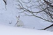 Lièvre variable (Lepus timidus) en train de manger, en pelage blanc d'hiver, Alpes, Valais, Suisse.