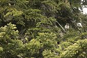 Pygmy Owl (Glaucidium passerinum) on a branch, Jura, Switzerland.